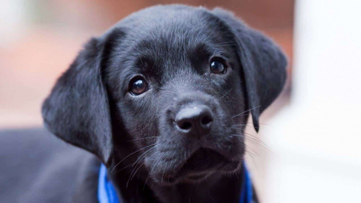 adoration_youngsters_pets_black_lab_love_1280x720_hd-wallpaper-1249025_mini