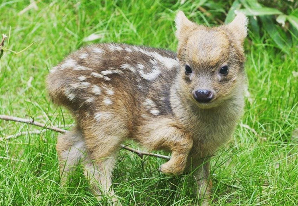 this-little-baby-pudu-is-the-cutest-thing-youll-see-today