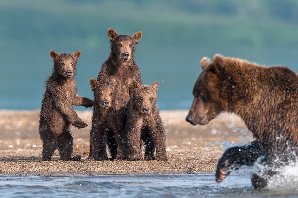 bear-cubs-watching-their-dad-hunt_mini
