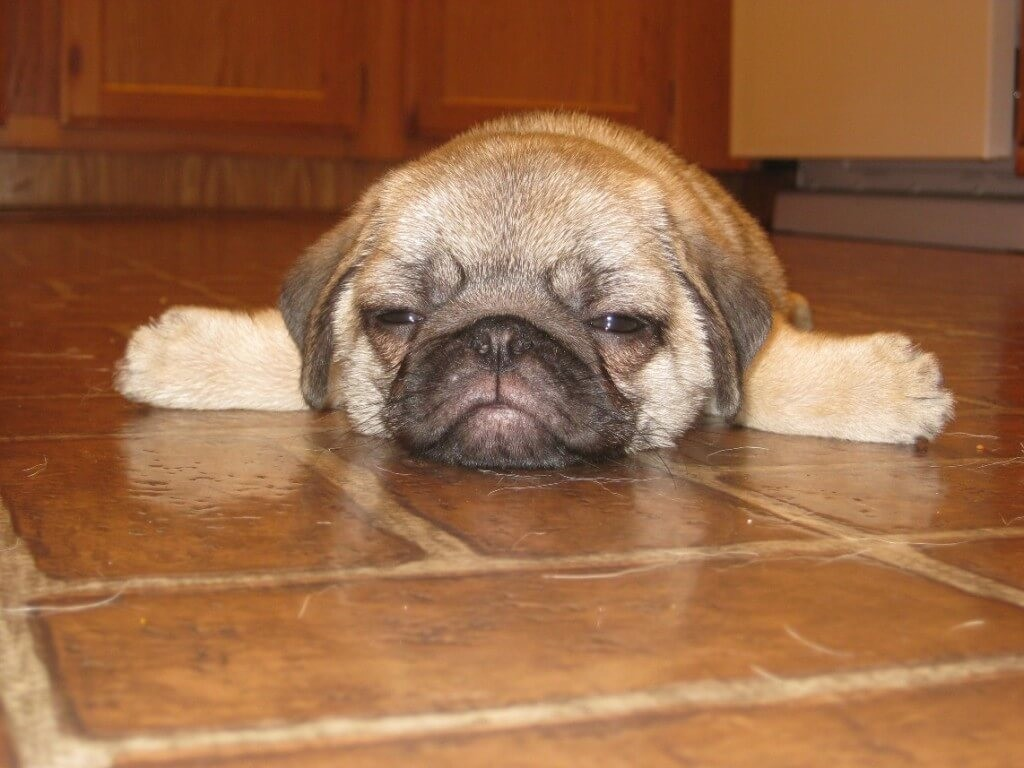 Almost-Made-it-to-the-Weekend-Pug-1024x768 (1)