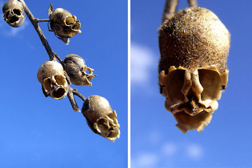 Snap-Dragon-Seed-Pod-Orchid (1)