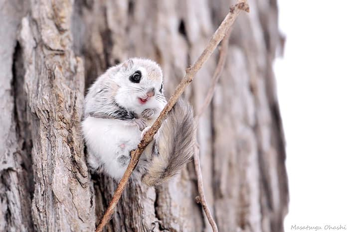 siberian-japanese-dwarf-flying-squirrel-11_mini