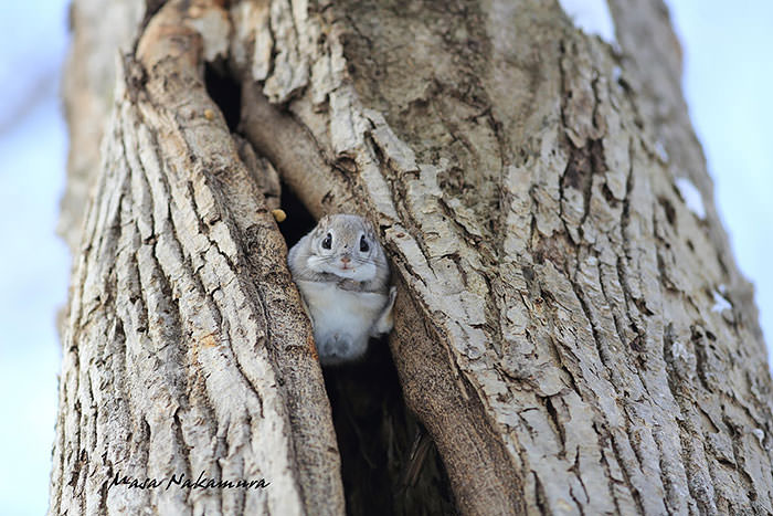siberian-japanese-dwarf-flying-squirrel-15_mini
