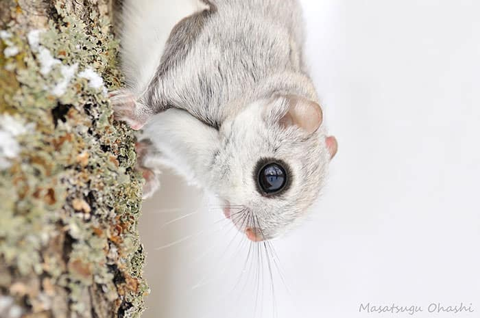 siberian-japanese-dwarf-flying-squirrel-16_mini