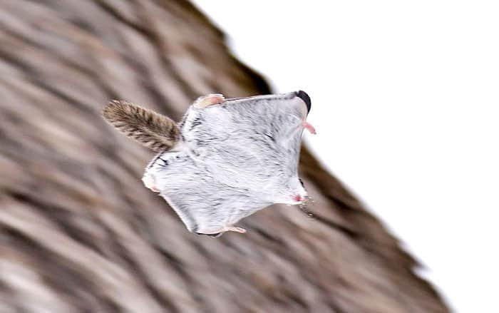 siberian-japanese-dwarf-flying-squirrel-19_mini
