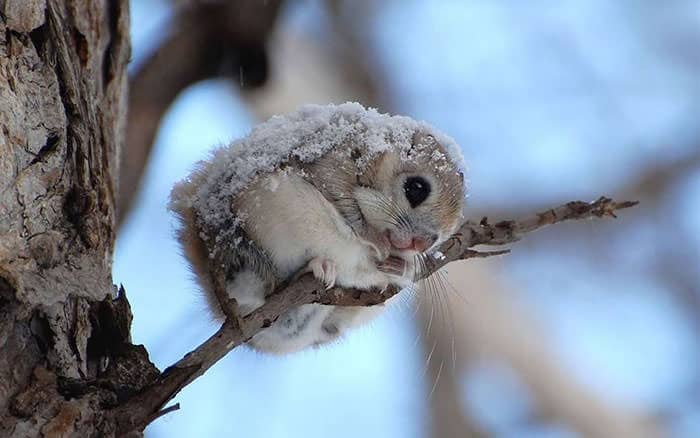 siberian-japanese-dwarf-flying-squirrel-20_mini