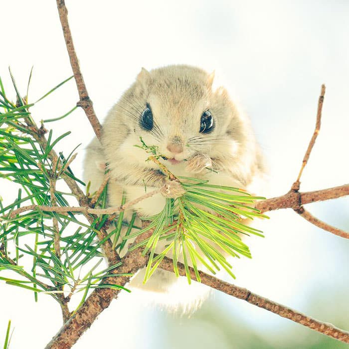 siberian-japanese-dwarf-flying-squirrel-4_mini