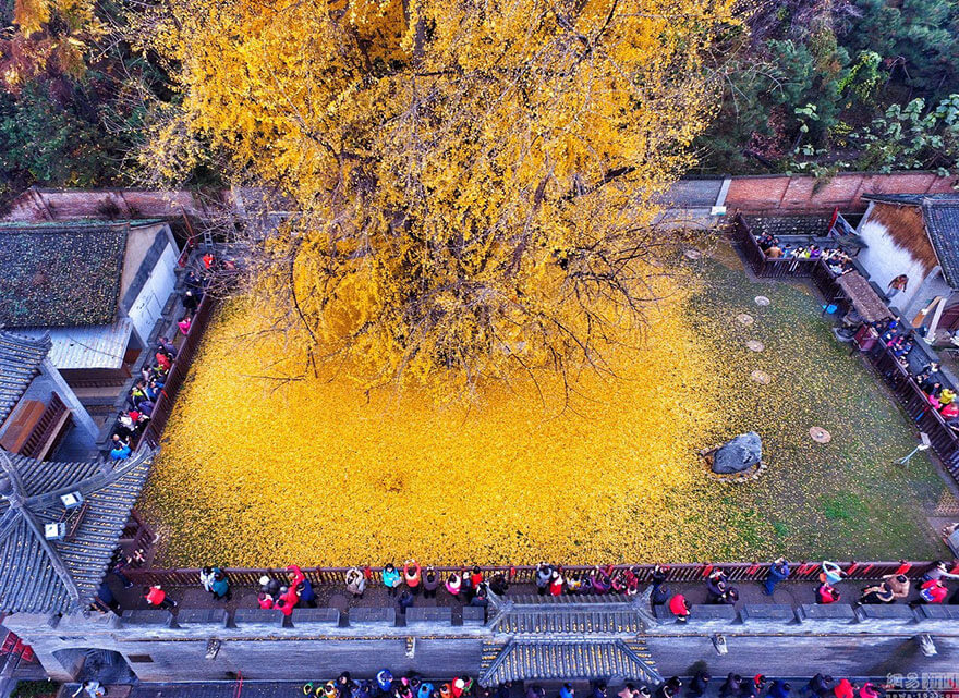 1400-old-ginkgo-tree-yellow-leaves-buddhist-temple-china-5