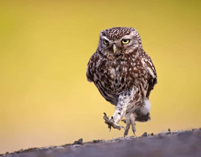 14269610-R3L8T8D-650-owl-photography-10__880