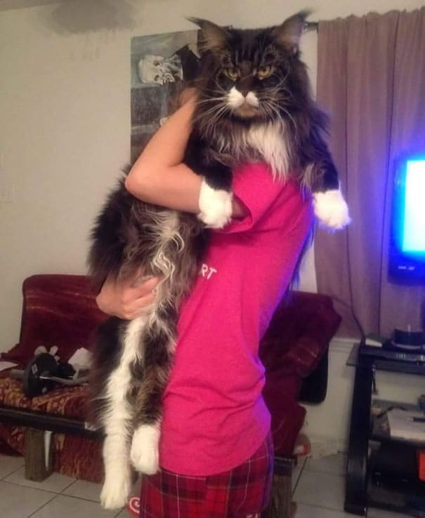 maine-coon-cats-16__605