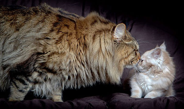 maine-coon-cats-5__605