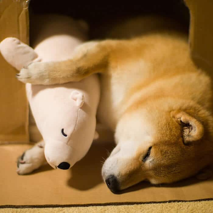 dog-shiba-inu-sleeps-teddy-bear-same-position-maru-8