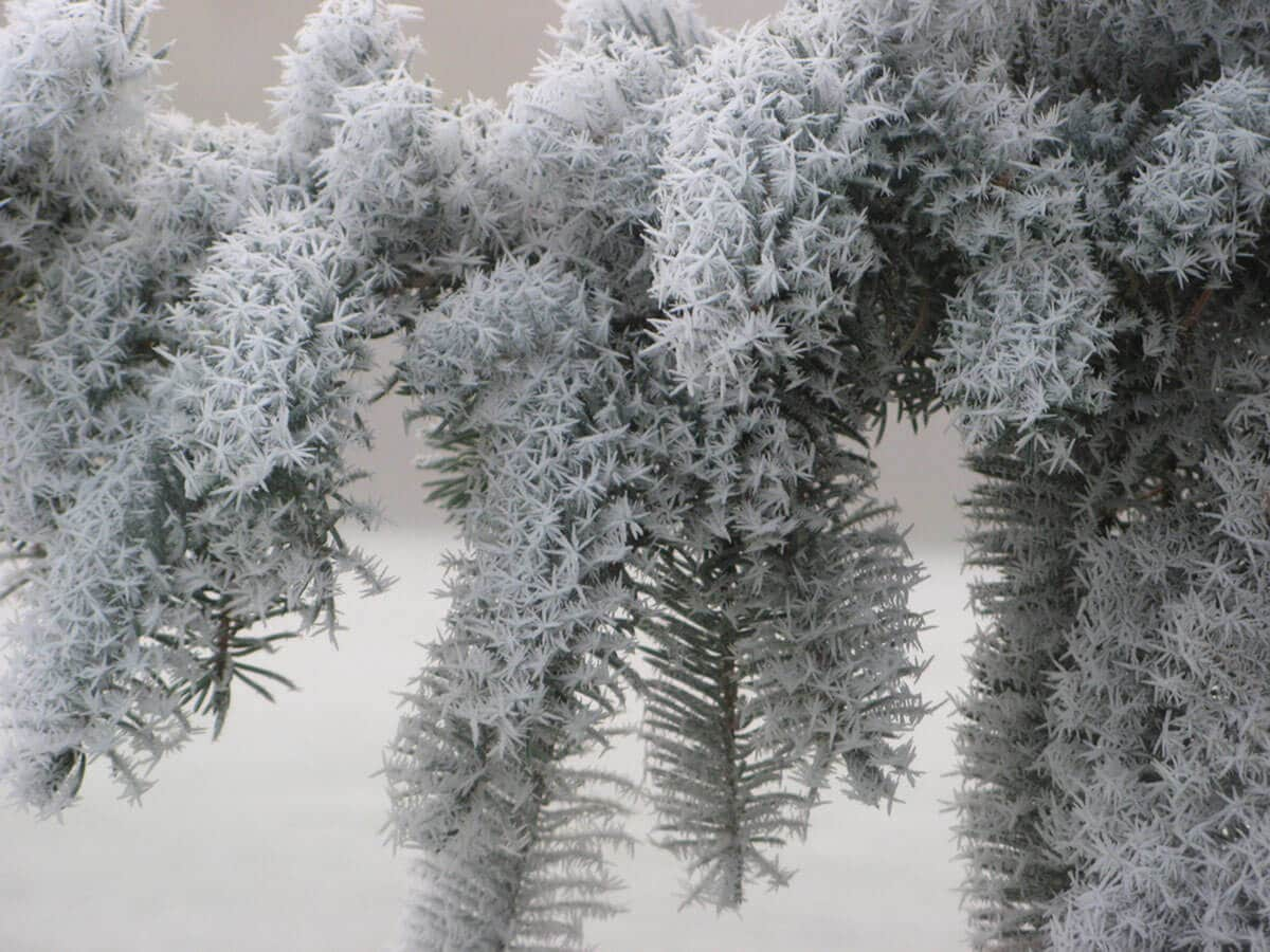 sapin-epines-couvertes-neige (1)