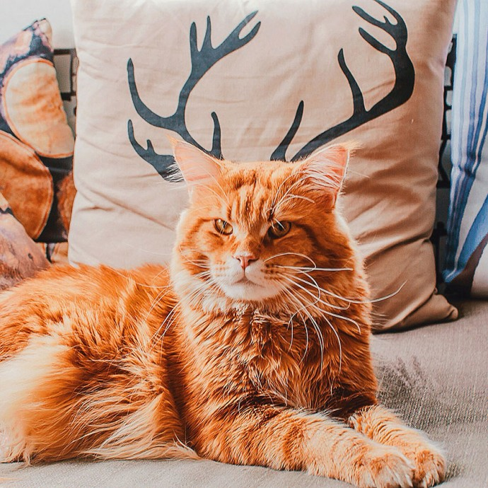 ginger-cat рис 8