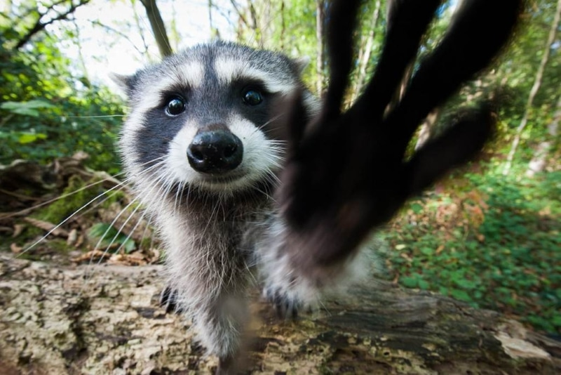 google.com.ua Funny-raccoon-pictures-12