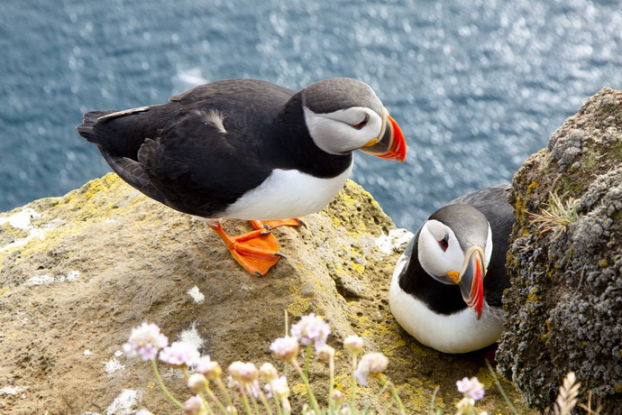 Colorful puffins on the rock - Iceland