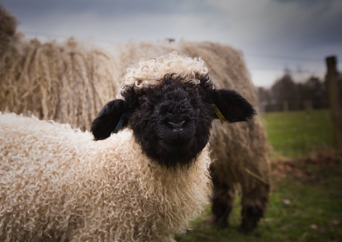 valais-blacknose-sheep-15-5810a868633df__700
