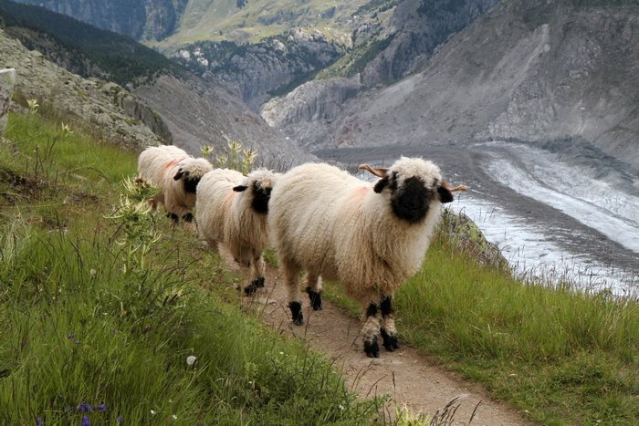 valais-blacknose-sheep-18-5810a86e96571__700