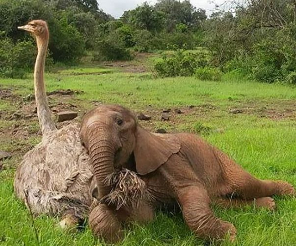 ostrich-snuggles-orphaned-elephants-51