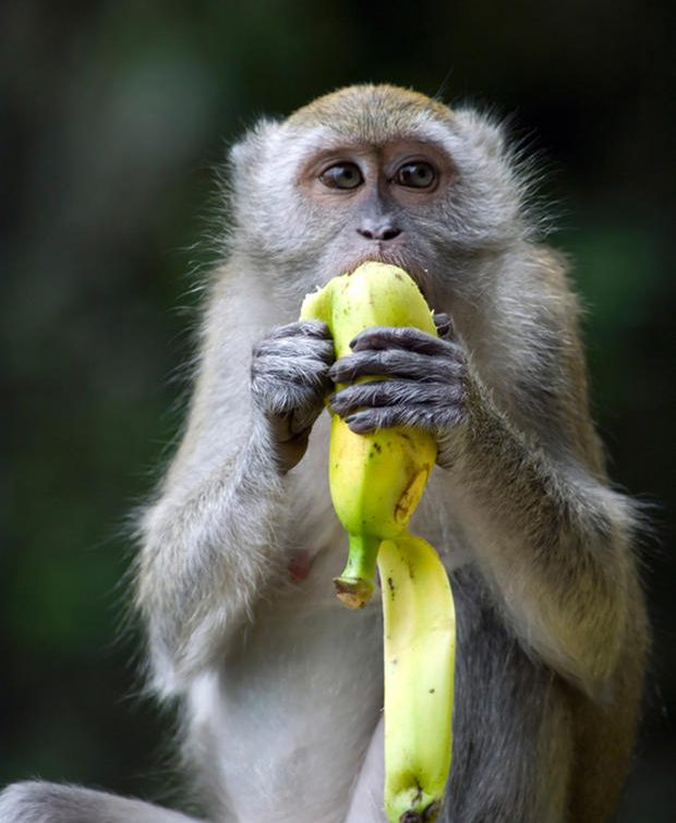 Lovely macaque eating a banana and looking at the camera
