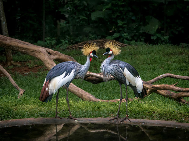 Two grey crowned cranes