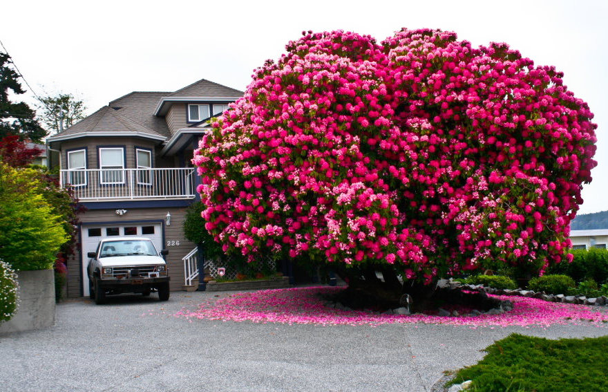 01-Rhododendron